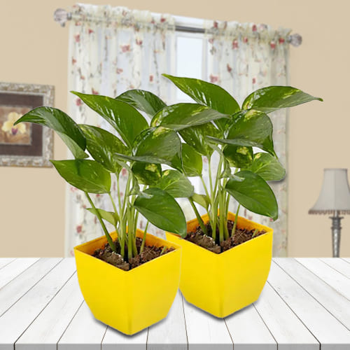 Divine Gift of Twin Money Plant Set in Attractive Plastic Pots<br>