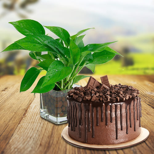 Good Luck Money Plant in Glass Pot with Delectable Chocolate Cake<br>