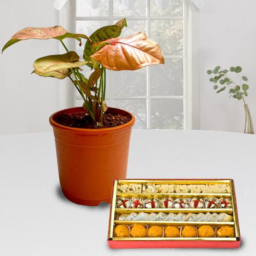 Decorative Gift of Indoor Syngonium Plant with Sweets