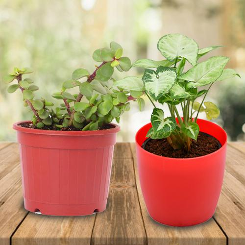Aesthetic Gift of Indoor Jade Plant N Syngonium Plant in a Pot